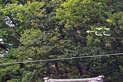 高木の中のトキ